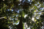 Canopy of the Dipterocarp forest -- sabah_3395