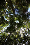 Canopy of the Dipterocarp forest -- sabah_3396