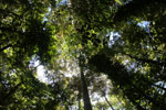 Canopy of the Dipterocarp forest in Borneo -- sabah_3407