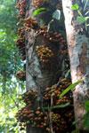 Figs -- sabah_3499