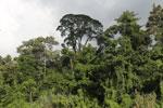 Rainforest along the Kinabatangan river -- sabah_3505