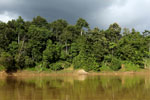Rainforest along the Kinabatangan river -- sabah_3509
