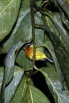 Sleeping bird -- sabah_3575