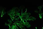 Glowing fungi -- sabah_3590