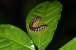 Purple and orange centipede