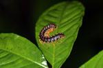 Purple and orange centipede