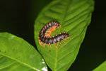 Purple and orange centipede -- sabah_3617