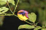 Sleeping kingfisher -- sabah_3621