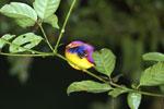 Sleeping kingfisher -- sabah_3622