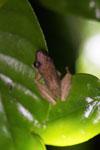 Frog -- sabah_3635
