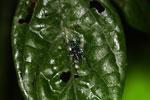 Black katydid with turquoise spots