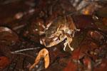 Mating frogs -- sabah_3672