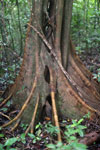 Roots of a rainforest tree -- sabah_3710