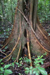 Roots of a rainforest tree