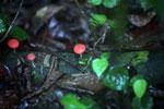 Red cup mushroom -- sabah_3728
