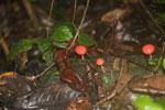 Red cup mushroom -- sabah_3732
