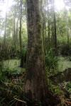 Peat swamp -- sabah_3752