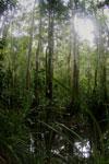 Peat swamp -- sabah_3753