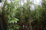 Peat swamp -- sabah_3756
