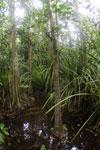 Peat swamp in Borneo -- sabah_3757