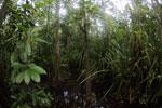 Peat swamp in Borneo -- sabah_3758