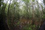 Peat swamp in Borneo -- sabah_3759