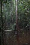 Peat swamp -- sabah_3763