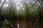 Peat swamp -- sabah_3765