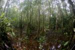 Peat swamp -- sabah_3768