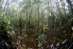 Peat swamp -- sabah_3769