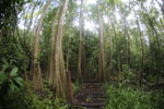 Boardwalk through a peatswamp in Borneo -- sabah_3771