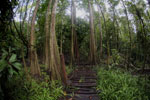 Boardwalk through a peatswamp in Borneo