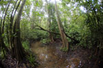 Peat swamp -- sabah_3773