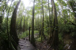 Boardwalk through a peatswamp in Borneo -- sabah_3774