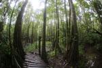 Boardwalk through a peatswamp in Borneo -- sabah_3774