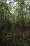 Peat swamp -- sabah_3779