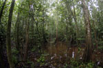 Peat swamp -- sabah_3780