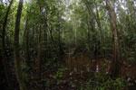 Peat swamp -- sabah_3781