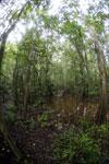 Peat swamp -- sabah_3782