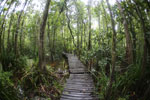 Boardwalk through a peatswamp in Borneo -- sabah_3784