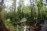 Boardwalk through a peatswamp in Borneo -- sabah_3786
