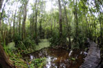 Boardwalk through a peatswamp in Borneo -- sabah_3787