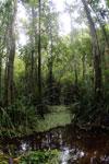 Peat swamp -- sabah_3788