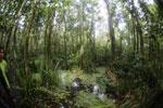 Peat swamp -- sabah_3794