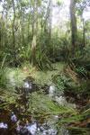 Peat swamp -- sabah_3795