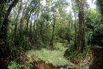 Peat swamp -- sabah_3797