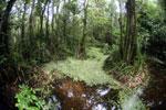 Peat swamp -- sabah_3798