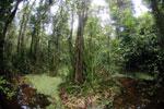 Peat swamp -- sabah_3799