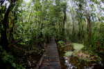 Boardwalk through a peatswamp in Borneo -- sabah_3801