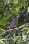 Crested Serpent Eagle (Spilornis cheela) -- sabah_3817